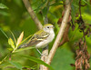 "<div class=""jaDesc""> <h4>Juvenile Chestnut-sided Warbler - July 29, 2009 </h4> <p>This juvenile Chestnut-sided Warbler is regularly in the same thickets as the Redstart Warbler where they eat bugs off leaves early in the morning.</p> </div>"