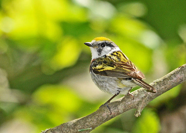 """<div class=""""jaDesc""""> <h4>Female Chestnut-sided Warbler in Woods - May 17, 2010 </h4> <p>Two little warblers were in high speed chase through dense tree branches right in front of me.  This female Chestnut-sided Warbler was one of the speedsters.  She paused just long enough for me to get a photo.</p> </div>"""