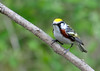 "<div class=""jaDesc""> <h4>Chestnut-sided Warbler Front View - May 13, 2016</h4> <p>Managed to get a nice close-up front view of this little speedster.  Shindagin Hollow Forest, NY</p> </div>"