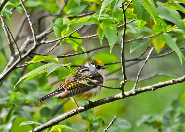 """<div class=""""jaDesc""""> <h4>Chestnut-sided Warbler Foraging in Woods - May 17 2014</h4> <p> I managed to get a distant shot of this Chestnut-sided Warbler rapidly moving through a cluster of thickets.</p> </div>"""