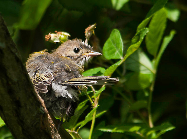"""<div class=""""jaDesc""""> <h4>Fledgling Chestnut-sided Warbler - June 28, 2012 </h4> <p> If I had not seen the adult Chestnut-sided Warblers feeding their newly fledged chicks, I would not have been able to identify this bird. Given the very fluffy feathers and almost no color, he must have just left the nest. His constant cheeping - begging to be fed - got my attention.</p> </div>"""