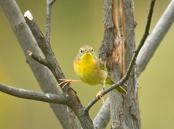 """<div class=""""jaDesc""""> <h4> Female Common Yellowthroat - Front View - September 13, 2008 </h4> <p> This female Common Yellowthroat gave me a nice front view shot. Guess it&#39;s pretty obvious why they are called a yellowthroat.</p> </div>"""