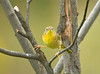 "<div class=""jaDesc""> <h4> Female Common Yellowthroat - Front View - September 13, 2008 </h4> <p> This female Common Yellowthroat gave me a nice front view shot. Guess it&#39;s pretty obvious why they are called a yellowthroat.</p> </div>"