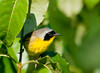 "<div class=""jaDesc""> <h4> Male Common Yellowthroat Searching for Bugs - June 28 2012 </h4> <p> This male Common Yellowthroat was out at first light searching for bugs.  He and his mate would call to each other as they moved along the side of the road through thick bushes.</p> </div>"