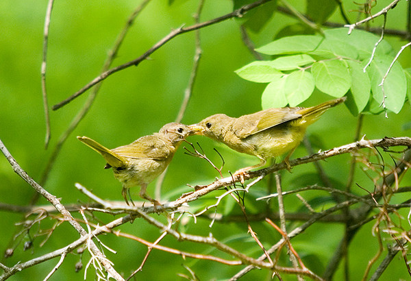 "<div class=""jaDesc""> <h4> Female Common Yellowthroat Feeding Juvenile - July 2, 2008 </h4> <p>As the juvenile Common Yellowthroat was chirping loudly wanting to be fed, mom flew into the rescue with a juicy caterpillar.</p> </div>"