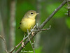 "<div class=""jaDesc""> <h4> Juvenile Common Yellowthroat Posing Pretty - August 18, 2009 </h4> <p>This beautiful juvenile female Common Yellowthroat stayed put for almost 30 seconds.  She was not shy at all.</p> </div>"