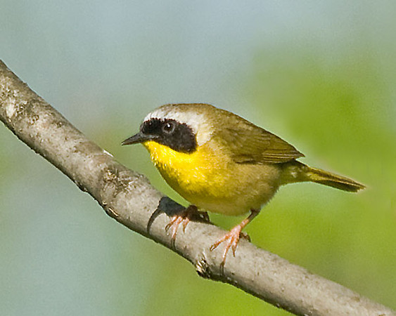 """<div class=""""jaDesc""""> <h4> Male Common Yellowthroat - May 20, 2009 </h4> <p> After I heard the male Common Yellowthroats in the woods for a few weeks now, one finally gave me an opportunity for a photo. They will get more used to me over time as I echo their calls.</p> </div>"""