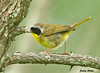 "<div class=""jaDesc""> <h4> Male Common Yellowthroat with Caterpillar - July 21 2009 </h4> <p> I managed to catch this male Common Yellowthroat out in the open.  He stopped briefly as if he wanted to show off his catch.</p> </div>"