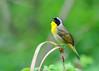 "<div class=""jaDesc""> <h4>Male Common Yellowthroat Singing - May 6, 2015</h4> <p>Tyler Arboretum - Lima, PA</p> </div>"