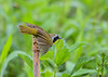 """<div class=""""jaDesc""""> <h4>Common Yellowthroat Take-off - May 8, 2017</h4> <p>He leaned forward and spread his wings as he was taking off.</p> </div>"""