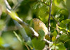 """<div class=""""jaDesc""""> <h4> Juvenile Common Yellowthroat with Caterpillar - July 17, 2011 </h4> <p> I was trying to get photos of a pair of adult Common Yellowthroats when I saw this juvenile fly across the road and land high up in a poplar tree.  He seemed very proud of himself with the large caterpillar, but was not quite sure how to eat it.</p> </div>"""
