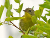 "<div class=""jaDesc""> <h4> Female Common Yellowthroat Trying to Hide - July 21 2009 </h4> <p>Whenever I spot a male Common Yellowthroat, there is usually a female nearby.  This gal was in a nearby tree.</p> </div>"
