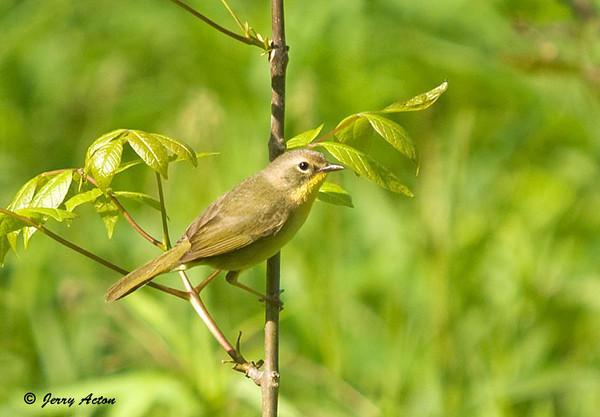 """<div class=""""jaDesc""""> <h4> Female Common Yellowthroat - May 20, 2009 </h4> <p> After discovering the male yellowthroat along the road, I noticed grasses moving a bit further away.  Then the female popped up on a bush in the morning sunlight.</p> </div>"""
