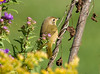 "<div class=""jaDesc""> <h4> Female Common Yellowthroat in Asters- September 17, 2008 </h4> <p> At first I thought this was a juvenile Goldfinch, but a closer look revealed that it is an adult female Common Yellowthroat.  She was tucked in among the asters and goldenrod picking bugs off the leaves.</p> </div>"