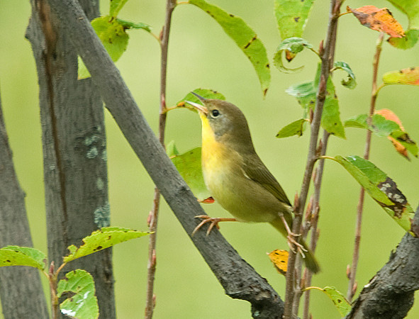 """<div class=""""jaDesc""""> <h4> Female Common Yellowthroat - Side View - September 13, 2008 </h4> <p> Here is a side view of the female Common Yellowthroat.  She was showing some agility in straddling branches.</p> </div>"""