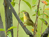 "<div class=""jaDesc""> <h4> Female Common Yellowthroat - Side View - September 13, 2008 </h4> <p> Here is a side view of the female Common Yellowthroat.  She was showing some agility in straddling branches.</p> </div>"
