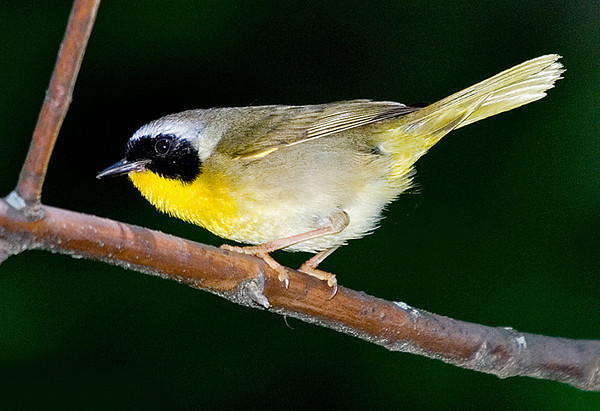 """<div class=""""jaDesc""""> <h4> Male Common Yellowthroat - June 14, 2007 </h4> <p> This is a shot of a male Common Yellowthroat that arrived the other day.  I have seen one on my walk with our dog each morning since; and I can hear at least 4 more spread around in the woods.</p> </div>"""