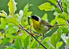 "<div class=""jaDesc""> <h4>Male Common Yellowthroat with Caterpillar for Chicks - July 20, 2014</h4> <p>The male Common Yellowthroat was busy finding caterpillars to feed the chicks.  He would not go into the nest as long as I was nearby, so I left right away.</p> </div>"