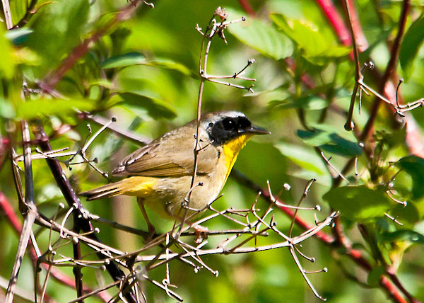 """<div class=""""jaDesc""""> <h4> Male Common Yellowthroat in Bush - May 26, 2013 </h4> <p> This male Common Yellowthroat popped out of the thick brush briefly for a photo opportunity.</p> </div>"""