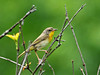 """<div class=""""jaDesc""""> <h4> Female Common Yellowthroat in Top of Thicket - June 11, 2010 </h4> <p> I hear 4 or 5 Common Yellowthroats every morning when I walk Coby, but they seldom show themselves. This female popped up out of a dense bush for just a few seconds.</p> </div>"""