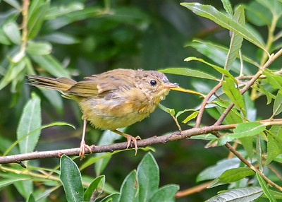 Juvenile Female Common Yellowthroat Learning to Catch Bugs - August 7, 2019 Roy Park Preserve, Slaterville Springs, NY