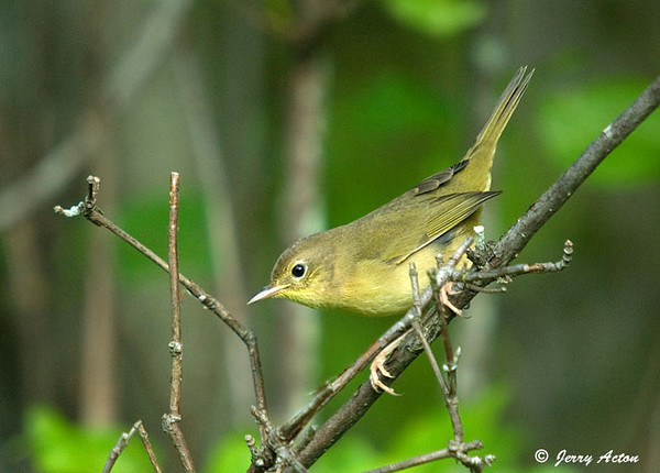 """<div class=""""jaDesc""""> <h4> Female Common Yellowthroat on the Move - August 18, 2009 </h4> <p>This female Common Yellowthroat was busy looking for caterpillars as she quickly moved around through a dense thicket/p> </div>"""