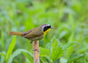"<div class=""jaDesc""> <h4>Male Common Yellowthroat on Stalk - May 8, 2017</h4> <p>This guy flew from a thicket and landed on a thick stalk right in front of me.</p> </div>"