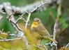 """<div class=""""jaDesc""""> <h4>Female Common Yellowthroat #2 - September 12, 2015</h4> <p>Roy Park Preserve, Slaterville Springs, NY</p> </div>"""
