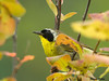 "<div class=""jaDesc""> <h4> Male Common Yellowthroat Trying to Hide - July 21 2009 </h4> <p>This male Common Yellowthroat really made me work for this shot.  He played hide and seek with me for about 10 minutes.  I finally caught him peaking out.</p> </div>"