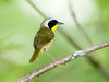 "<div class=""jaDesc""> <h4> Male Common Yellowthroat - June 23, 2008 </h4> <p> I&#39;d been hearing this Common Yellowthroat in the woods during dog walk.  I finally decided to go get a shot of him.</p> </div>"