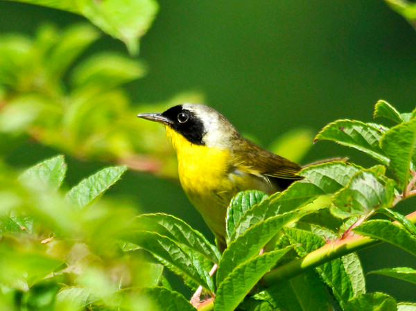"<div class=""jaDesc""> <h4>Male Common Yellowthroat in Multi-flora Rosebush - July 20, 2014</h4> <p>A pair of Common Yellowthroats have a nest in a huge multi-flora rosebush.  This male was chirping at me to warn me away, so I did not stay long.</p> </div>"