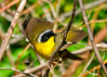 "<div class=""jaDesc""> <h4>Male Common Yellowthroat - Wings Flared - June 5, 2014</h4> <p>Sometimes when the female is close by, the male will flare his wings as a sign of affection. </p> </div>"
