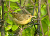 "<div class=""jaDesc""> <h4> Female Common Yellowthroat with Breakfast - August 18, 2009 </h4> <p>I heard a group of Common Yellowthroats in the woods along the road as I was walking my dog the other morning.  When I went back with my camera, they were still there picking bugs off leaves in a dense thicket. This female gave me a brief photo opportunity.</p> </div>"