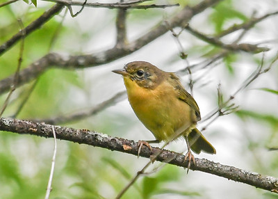 Female Common Yellowthroat Hanging Out with Juvenile - August 7, 2019 Roy Park Preserve, Slaterville Springs, NY