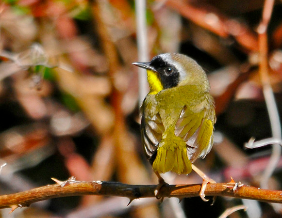 """<div class=""""jaDesc""""> <h4>Male Common Yellowthroat - Back View - June 5, 2014</h4> <p>The main color of the back of a male Common Yellowthroat is yellowish green.  This guy was keeping an eye on me even though I was behind him.</p> </div>"""