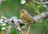 """<div class=""""jaDesc""""> <h4>Female Common Yellowthroat #1 - September 12, 2015</h4> <p>Roy Park Preserve, Slaterville Springs, NY</p> </div>"""