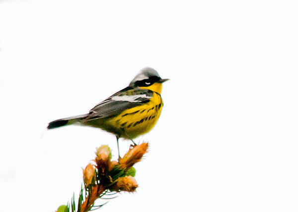 "<div class=""jaDesc""> <h4> Male Magnolia Warbler on High Perch - May 18, 2013 </h4> <p>A male Magnolia Warbler popped out on this evergreen sprig to sing.</div>"