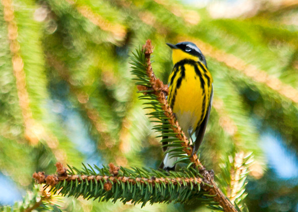 "<div class=""jaDesc""> <h4> Male Magnolia Warbler in Evergreen Tree - May 8, 2013 </h4> <p>Two male Magnolia Warblers were calling back and forth as they maneuvered among a grove of evergreen trees.  They are establishing their nesting territories.  This guy briefly came out into the open. </div>"