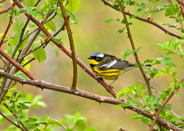 """<div class=""""jaDesc""""> <h4> Magnolia Warbler in Wild Rose Bush - May 13, 2011 </h4> <p> I saw this Magnolia Warbler foraging for insects in a dense multi-flora rose thicket. He did not seem to mind my presence, but stayed well hidden among the tangle of branching. After about 15 minutes he finally perched in a relatively clear spot for a brief look around. </div>"""