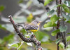 "<div class=""jaDesc""> <h4> Female Magnolia Warbler - Right Side View - September 14, 2019 </h4> <p>She was feeding on bugs in the bushes and trees.</p></div>"