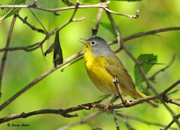 "<div class=""jaDesc""> <h4> Nashville Warbler Singing in Woods - May 7, 2010 </h4> <p>I went for a walk along Owego Creek in Newark Valley, NY this morning planning on photographing wildflowers.  It turned out the place was full of migrating warblers.  This Nashville Warbler finally perched in the clear after giving me fits flitting through dense branching.</p> </div>"