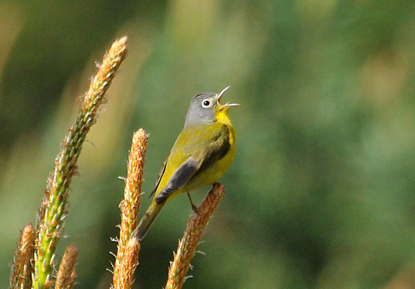 "<div class=""jaDesc""> <h4> Nashville Warbler Singing in Pine Tree - May 15, 2010 </h4> <p>A neighbor hosted a warbler walk at his property.  This Nashville Warbler was singing away in the top of a young pine tree in the middle of an overgrown pasture.</p> </div>"