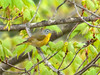 "<div class=""jaDesc""> <h4> Nashville Warbler Getting Morning Insects - May 13, 2011 </h4> <p>Several Nashville Warblers gave me fits with their ability to blend in with the tree leaves as they foraged for insects. I could hear them, but not see them. After following a pair through a large field for 20 minutes, I finally got a peek at this one.</p> </div>"