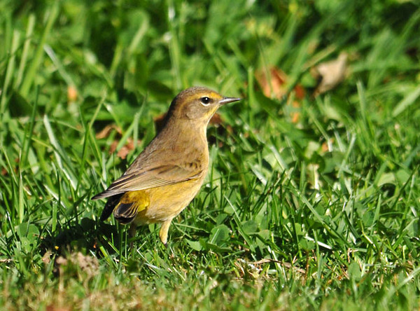 "<div class=""jaDesc""> <h4> Palm Warbler Foraging in Grass - October 11, 2011</h4> <p> This Palm Warbler was chasing moths in the high grass at a rest stop in rural Maine.  Palm Warblers have 2 races: Western race and Yellow race.  This bird is a Yellow race, probably an immature 1st year bird since it doesn't have the rust colored cap of an adult bird.</p> </div>"