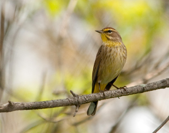 "<div class=""jaDesc""> <h4> Palm Warbler - Front View - May 3, 2012</h4> <p> I managed to follow this Palm Warbler as he moved through thick branching in a roadside tree. He was kind enough to perch out on an open branch briefly with nice light shining on his breast.</p> </div>"