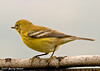 "<div class=""jaDesc""> <h4>Pine Warbler - Surprise Visit - September 2006</h4> <p> While taking photos of Bluebirds, I was surprised to see this Pine Warbler show up in my lens.  This was the only time we have ever seen one in our yard.</p> </div>"