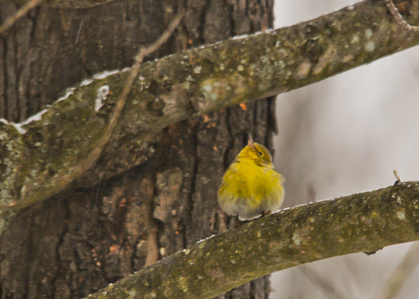 "<div class=""jaDesc""> <h4>Male Pine Warbler Looking Up - January 25, 2013</h4> <p> </p> </div>"