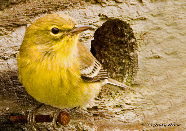"""<div class=""""jaDesc""""> <h4>Pine Warbler - Surprise Visit - September 2006</h4> <p> The Pine Warbler quickly moved to a nail perch on a nesting box.  What a treat to see this beautiful little warbler.</p> </div>"""