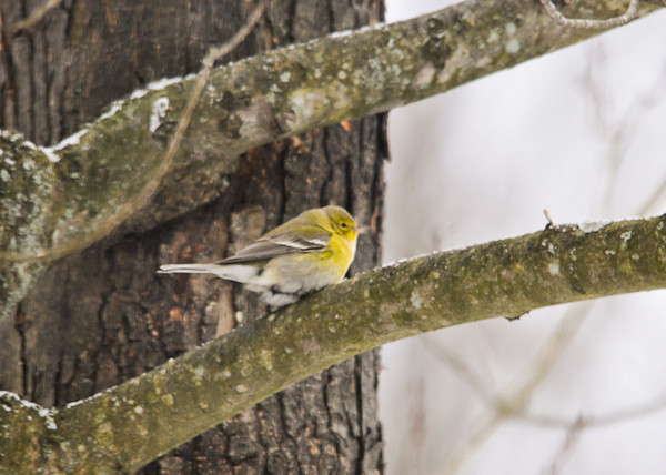 "<div class=""jaDesc""> <h4>Male Pine Warbler on Tree Limb - January 25, 2013</h4> <p> </p> </div>"