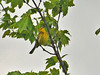 "<div class=""jaDesc""> <h4> Prairie Warbler Singing - May 15, 2010 </h4> <p> This male Prairie Warbler was hanging out in the top of a tall maple tree located in an overgrown farm field.  He alternated between feeding on bugs and stopping to sing.</p> </div>"